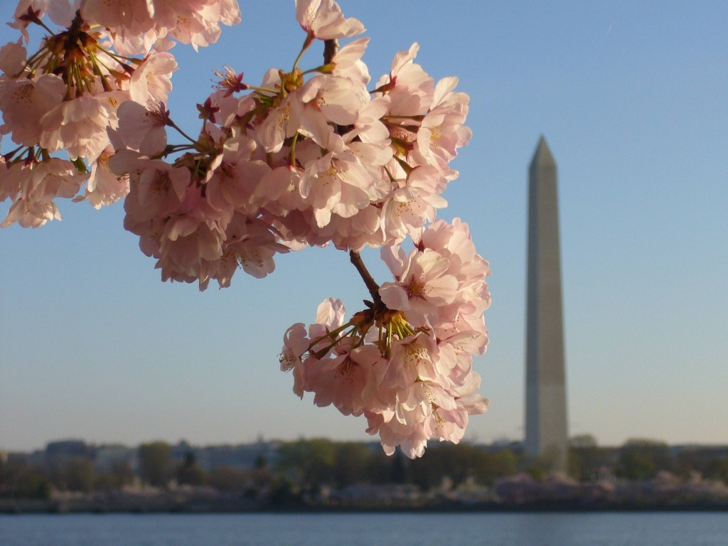 Residents of Capitol Hill get glimpses of the beautiful cherry blossom every Spring.